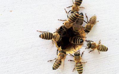 Les abeilles sont nos alliées