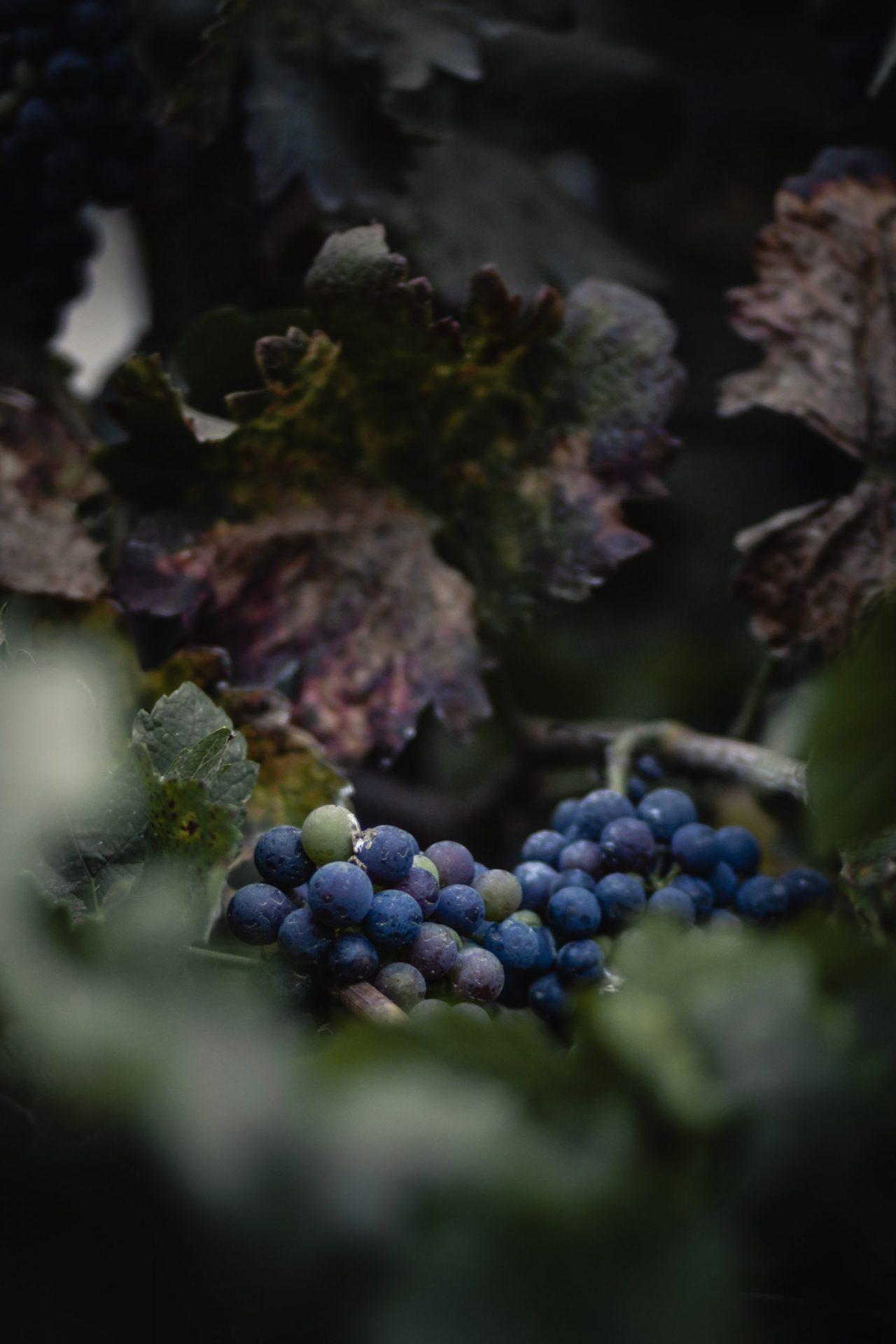 cure raisin